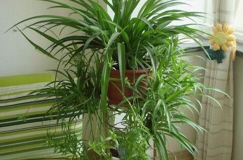 什么盆栽除甲醛?