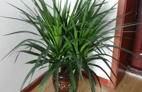 什么植物吸甲醛效果比一般的好?